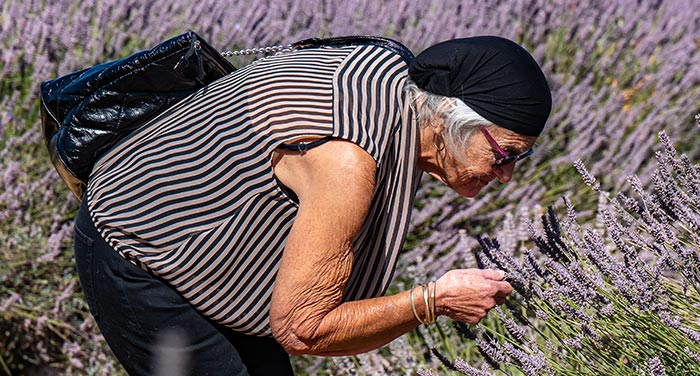 Woman leaning to smell Norfolk lavender